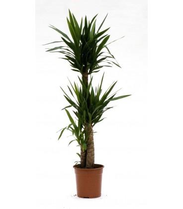 Yucca T.90 cm