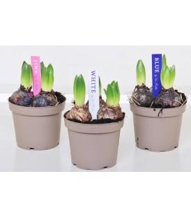 Hyacinthus V.12