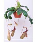 Nepenthes Bk 21 cm
