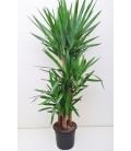 Yucca T.120 cm