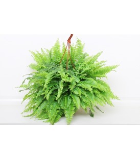 Nephrolephis Bk 22 cm