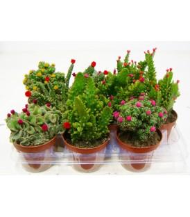 Cactus Fioriti V.10.5