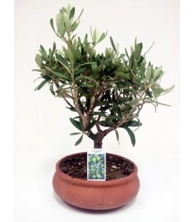 Olivo Bonsai V.20 cm