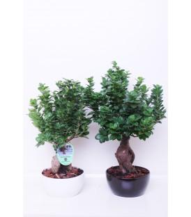 Bonsai V.22 Ceramica Tondo
