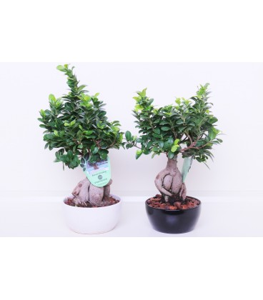 Bonsai 500 Gr Ceramica Tondo