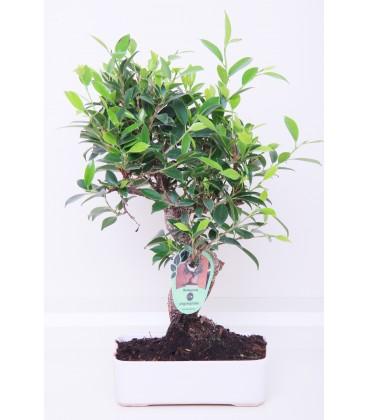 Bonsai H.20 cm Ficus
