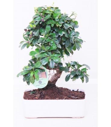 Bonsai H.20 cm Carmona