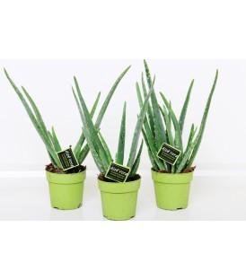 Aloe Vera V.12