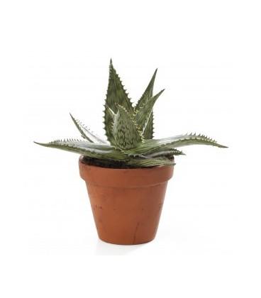 Aloe somaliensis  V.10