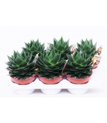 Aloe Cosmo V.17