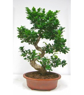 BONSAI FICUS  V.90/100 SHAPE SL50/2