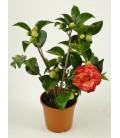 Camellia  V.20