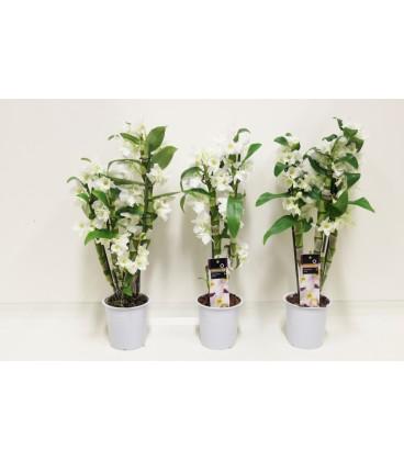 Dendrobium   V.12