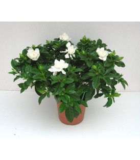 Gardenia V.17