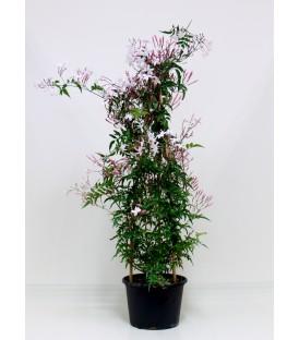 Gelsomino polyantum  V.19