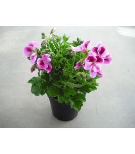 Geranio macrantino V.14 (pelargonium)