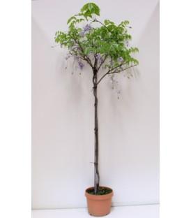 Glicine V.24 rampicante(wisteria)