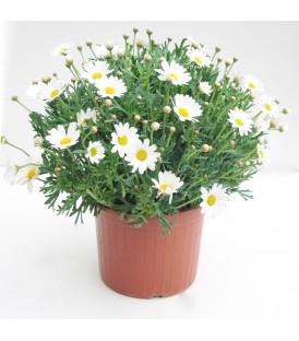 Margherita V.17 (leucanthemum)