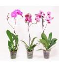 Phalaenopsis 1 ST V.12