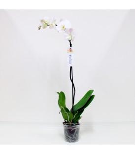 Phalaenopsis 1ST V.15