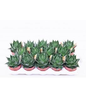 Aloe Cosmo V.10.5