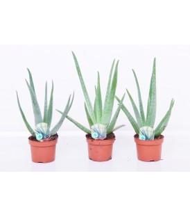 Aloe Vera V.10.5