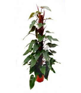 Philodendron imp. red  V.25