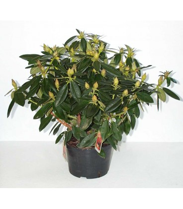 Rhododendron chioma 30/40 V.23