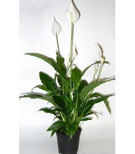 Spathiphyllum V.17 extra