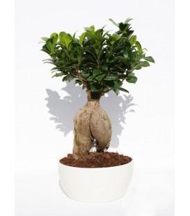 Bonsai 200 Gr. Vaso Ceramica