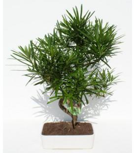Bonsai H.20 cm Podocarpus