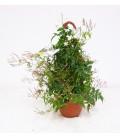 Gelsomino polyantum bk 16