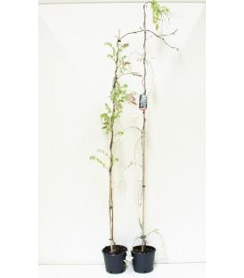 Glicine V.20 (wisteria)