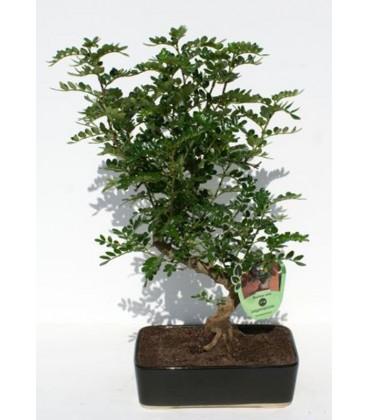 Bonsai H.20 cm Pepper