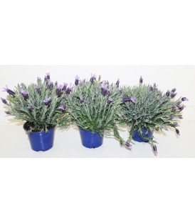 Lavandula stochaes v.14
