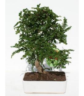 Bonsai H.20 cm Zelkova