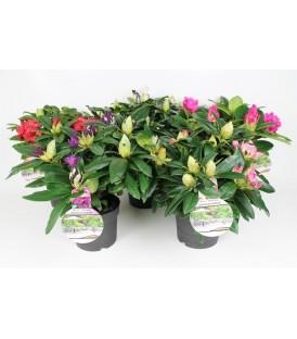Rhododendro chioma 40/50 V.23