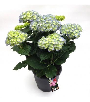 Ortensia V.25 (hydrangea)