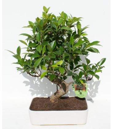 Bonsai H.25 cm Ficus