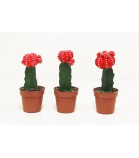 Cactus  geent mix v.8,5 (innesto brasiliano)