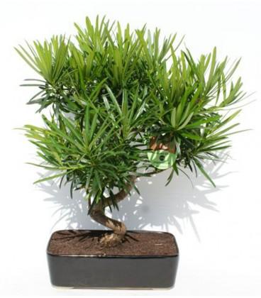 Bonsai H.25 cm Podocarpus