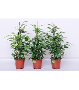 Ficus Benyamino V.13/14