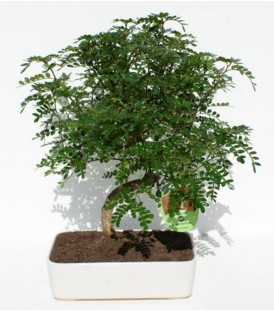 Bonsai H.25 cm Pepper