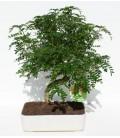 Bonsai H.25 cm Pepper