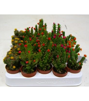 Cactus Fioriti V.5.5