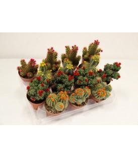 Cactus Fioriti V.8.5