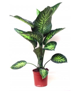 Dieffenbachia Tropich V.17