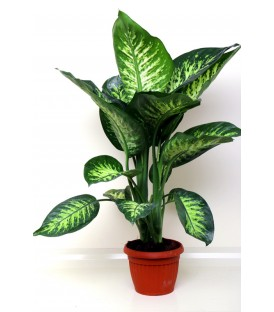 Dieffenbachia Tropich V.20